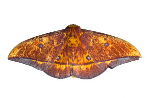 Saturniid moth (Eacles sp.) cloud forest of Mashpi, Ecuador. Meetyourneighbours.net project - MYN / Javier Aznar