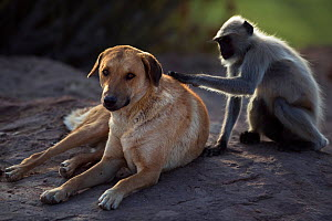 Southern plains grey langur / Hanuman langur (Semnopithecus dussumieri) female grooming a domestic dog. Jodhpur, Rajasthan, India. March. - Fiona Rogers