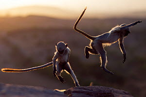 Southern plains grey langur / Hanuman langur (Semnopithecus dussumieri) juveniles playing at sunrise, Jodhpur, Rajasthan, India. March. - Anup Shah