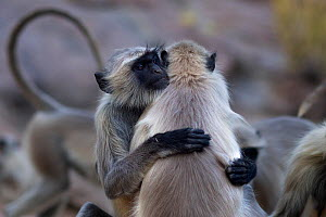 Southern plains grey langur / Hanuman langur (Semnopithecus dussumieri) females hugging to reinforce rank. Jodhpur, Rajasthan, India. March. - Anup Shah
