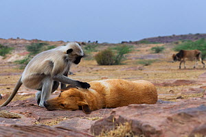 Southern plains grey langur / Hanuman langur (Semnopithecus dussumieri) female grooming a domestic dog. Jodhpur, Rajasthan, India. March. - Anup Shah