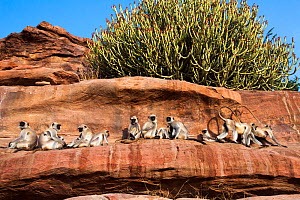 Southern plains grey langur / Hanuman langur (Semnopithecus dussumieri) group resting on rocky ledge. Jodhpur, Rajasthan, India. March. - Anup Shah