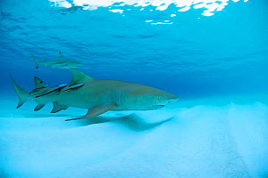 Lemon shark (Negaprion brevirostrus) together with Blacktip reef shark (Carcharhinus melanopterus) and three remoras just before sunset, Picard Island, Aldabra, Indian Ocean  -  Willem  Kolvoort