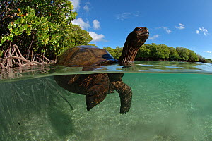Split level view of Aldabra giant tortoise (Aldabrachelys gigantea) swimming in Passe Grande Magnan / Magnan channel, Aldabra, Indian Ocean Image taken under controlled conditions.  -  Willem  Kolvoort