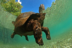 Aldabra giant tortoise (Aldabrachelys gigantea) swimming in Passe Grande Magnan / Magnan channel, Aldabra, Indian Ocean Image taken under controlled conditions.  -  Willem  Kolvoort