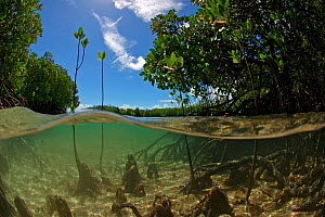Split level view of young mangrove shoots, Passe Grande Magnan / Magnan channel, Aldabra, Indian Ocean  -  Willem  Kolvoort