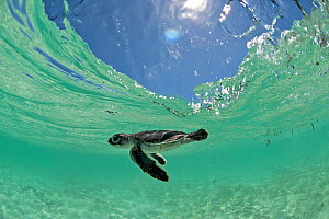 Green Turtle (Chelonia mydas) hatchling swims towards the deep part of the sea to escape from possible predators, Anse de Mais, West Grande Terre, Aldabra, Indian Ocean  -  Willem  Kolvoort