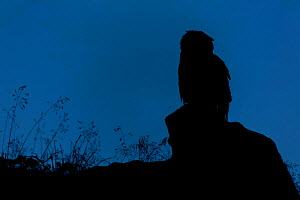Eurasian Eagle owl (Bubo bubo) silhouetted at dawn, perched on rocky outcrop. Southern Norway. August.  -  Andy Trowbridge