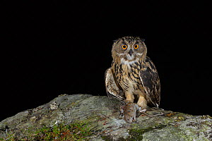 Eurasian Eagle owl (Bubo bubo) juvenile with prey, a brown rat (Rattus norvegicus), at night. Southern Norway. August. - Andy Trowbridge