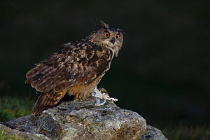 Eurasian Eagle owl (Bubo bubo) adult perched on rocky outcrop with prey at first light. Southern Norway. August. - Andy Trowbridge