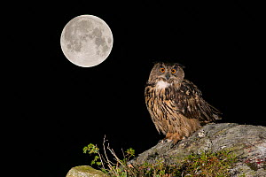 RF- Eurasian Eagle owl (Bubo bubo) adult perched on rocky outcrop with the Super Full Moon, September 28th 2015, Southern Norway. August.  Multiple exposure. (This image may be licensed either as righ...  -  Andy Trowbridge