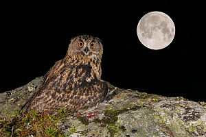Eurasian Eagle owl (Bubo bubo) juvenile perched on rocky outcrop hiding / covering prey Brown rats (Rattus norvegicus) with the Super Full Moon from September 28th 2015, in the background. Southern No...  -  Andy Trowbridge