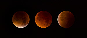 Total Lunar Eclipse of a Supermoon on September 28th 2015. Also called a Blood Moon. A digital composite of 3 images showing the moon moving through the start of the full eclipse (4.11am), maximum ecl...  -  Andy Trowbridge