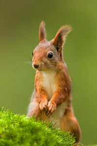 Red squirrel (Sciurus vulgaris) standing on hind legs looking alert. Southern Norway. November. - Andy Trowbridge