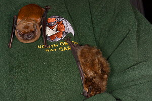 Samantha Pickering stroking/with a Noctule bat (Nyctalus noctula) next to a Serotine bat (Eptosicus serotinus) on her chest at her rescue centre, North Devon Bat Care, Devon, UK, October 2015. Model r... - Nick Upton