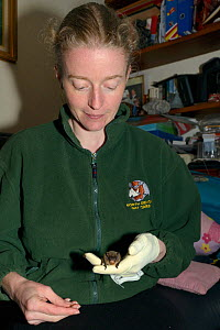 Samantha Pickering holding a Leisler's / Lesser noctule bat (Nyctalus leisleri) as it eats a mealworm she has given it at her home rescue centre, Devon, UK, October 2015. Model released. - Nick Upton