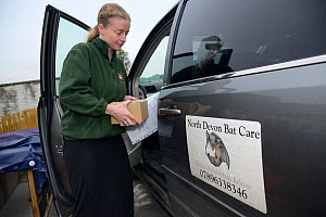 Samantha Pickering returns to the bat rescue centre at her home with a rescued Brown long-eared bat (Plecotus auritus) in a cardboard box, Barnstaple, Devon, UK, October 2015. Model released.  -  Nick Upton