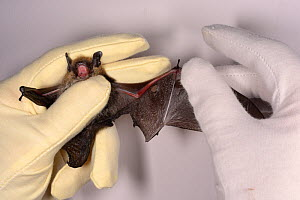 Whiskered bat (Myotis mystacinus) with a wing damaged by a cat being inspected by Samantha Pickering at the bat rescue centre at her home, Barnstaple, Devon, UK, October 2015. Model released. - Nick Upton