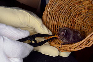 Barbastelle bat (Barbastella barbastellus) a rare bat in the UK, being offered a mealworm by Samantha Pickering at the bat rescue centre at her home, Barnstaple, Devon, UK, October 2015. Model release... - Nick Upton