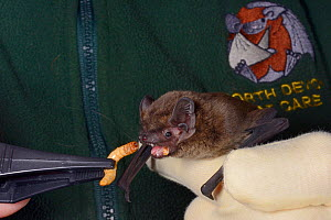 Leisler's / Lesser noctule bat (Nyctalus leisleri) being offered a mealworm at North Devon Bat Care, Devon, UK, October 2015. Model released. - Nick Upton