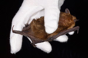 Serotine bat (Eptosicus serotinus) held to show its tail extending beyond its wing membranes, North Devon Bat Care, Barnstaple, Devon, UK, October 2015. Model released. - Nick Upton