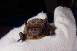 Leisler's / Lesser noctule bat (Nyctalus leisleri) held at North Devon Bat Care, Barnstaple, Devon, UK, October 2015. Model released. - Nick Upton