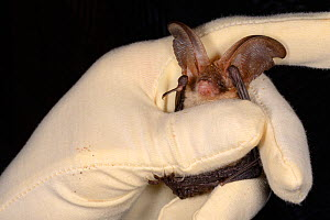 Brown long-eared bat (Plecotus auritus) held by Samantha Pickering at the bat rescue centre at her home, Barnstaple, Devon, UK, October 2015. Model released.  -  Nick Upton