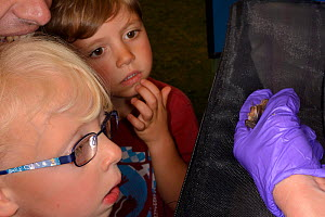 Brown long-eared bat (Plecotus auritus) shown to two children and their father by Samantha Pickering at a public outreach event, Boscastle, Cornwall, UK, October 2015. Model released.  -  Nick Upton