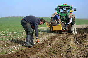 Royal Agricultural University students and gamekeeper Phil Holborrow planting a hedge in a groove cut by a tractor to provide cover for Tree Sparrows (Passer montanus) and other farmland birds as part...  -  Nick Upton