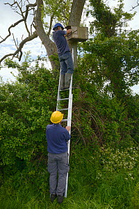 Graham Guest at the top of a ladder held by Barry Gray putting a Kestrel chick (Falco tinnunculus) back into a nestbox during a survey for the Hawk and Owl Trust's Kestrel Highways project, Congresbur...  -  Nick Upton