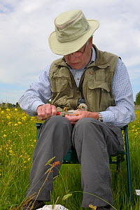Colon Morris ringing a Kestrel chick (Falco tinnunculus) found during a nestbox survey for the the Hawk and Owl Trust's Kestrel Highways project, Congresbury, Somerset, UK, June. Model released.  -  Nick Upton