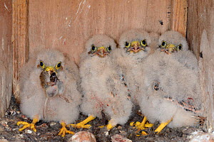 Four Kestrel chicks (Falco tinnunculus) in a nestbox, one with a mouse in its beak, found during a survey for the Hawk and Owl Trust's Kestrel Highways project, Congresbury, Somerset, UK, June. - Nick Upton