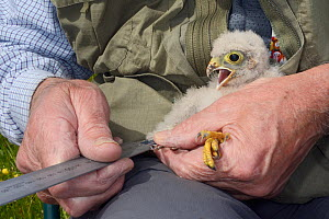 Kestrel chick (Falco tinnunculus) having its developing primary feathers measured during a nestbox survey for the Hawk and Owl Trust's Kestrel Highways project, Congresbury, Somerset, UK, June. Model... - Nick Upton