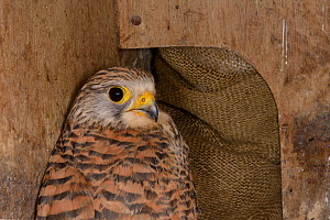 Adult Kestrel (Falco tinnunculus) found in a nestbox during a survey, Wiltshire, UK, June.  -  Nick Upton