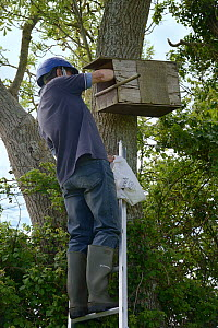 Graham Guest at the top of a ladder checking a nestbox for Kestrel chicks (Falco tinnunculus) during a survey for the Hawk and Owl Trust's Kestrel Highways project, Congresbury, Somerset, UK, June. Mo... - Nick Upton