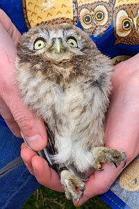 Little owl chick (Athene noctua) held after being ringed during a nestbox survey, Wiltshire, UK, June.  -  Nick Upton