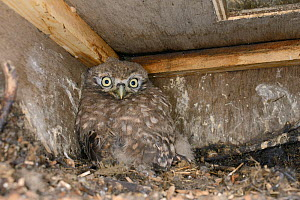 Little owl chick (Athene noctua) inside a nestbox checked during a survey, Wiltshire, UK, June.  -  Nick Upton