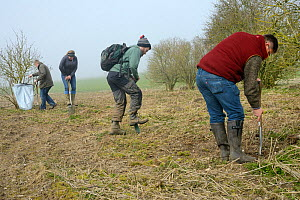 Royal Agricultural University students digging planting holes for Elder saplings (Sambucus nigra) to provide cover for Tree Sparrows (Passer montanus) and other farmland birds as part of the Marlborou... - Nick Upton