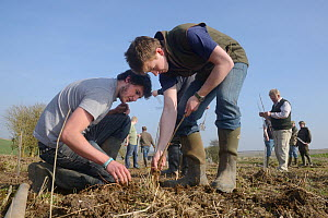 Royal Agricultural University students and gamekeeper Phil Holborrow planting Elder saplings (Sambucus nigra) to provide cover for Tree Sparrows (Passer montanus) and other farmland birds as part of t...  -  Nick Upton