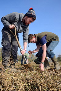 Royal Agricultural University students planting Elder saplings (Sambucus nigra) to provide cover for Tree Sparrows (Passer montanus) and other farmland birds as part of the Marlborough Downs Nature Im...  -  Nick Upton