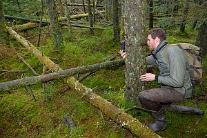 Dave Bavin setting up a trailcam in a dense coniferous plantation near some peanuts set out as bait to photograph a radio-collared Pine Marten (Martes martes) reintroduced to Wales by the Vincent Wild...  -  Nick Upton