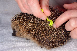 Hedgehog tick (Ixodes hexagonus) being removed with a tick remover hook from a young orphaned Hedgehog (Erinaceus europaeus) at a rescue centre, Cornwall, UK, October. Model released.  -  Nick Upton