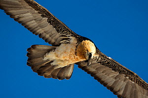 Lammergeier / Bearded vulture (Gypaetus barbatus) flying, Leukerbad, Valais, Switzerland, February  -  David  Pattyn