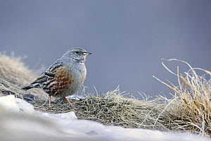 Alpine accentor (Prunella collaris) in snow, Leukerbad, Valais, Switzerland, February.  -  David  Pattyn