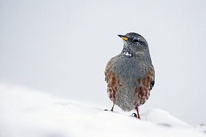 Alpine accentor (Prunella collaris) in snow, Leukerbad, Valais, Switzerland, February  -  David  Pattyn