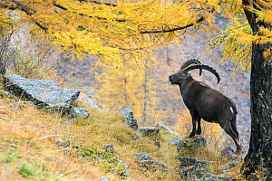 Alpine ibex (Capra ibex) on a mountain side in autumn with European larch tree (Larix decidua) trees in the back the Alps, Gran Paradiso National Park, Italy. November. - David  Pattyn
