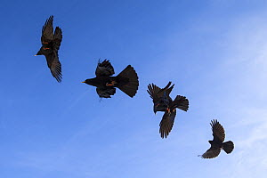 Alpine chough (Pyrrhocorax graculus) group in flight, Bernese Alps, Switzerland, November - David  Pattyn