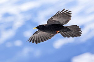 Alpine chough (Pyrrhocorax graculus) in flight, Bernese Alps, Switzerland, November  -  David  Pattyn