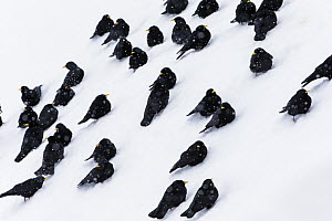 Alpine chough (Pyrrhocorax graculus) group resting in snow, Stelvio National Park, Sudtirol, Italy. March  -  David  Pattyn