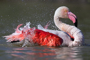 European flamingo (Phoenicopterus roseus) bathing Camargue, France, May.  -  David  Pattyn